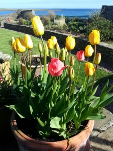 Quoys of Houton Tulips and Sea Views